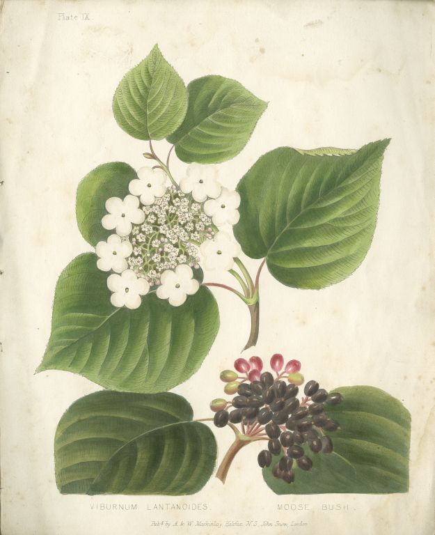 print: Viburnum Lantanoides. Moose Bush: Black Berries and White Blossoms, Large Green Leaves