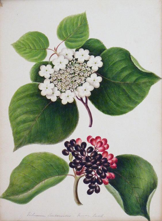 painting: Viburnum Lantanoides - Moose Bush